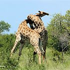 THE SPELL - GIRAFFE - Giraffa camelopardalis - ENCOUNTERS IN MATING SEASON by Magaret Meintjes