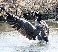 Canada Goose Flapping its Wings by rhamm