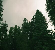 Beautiful Pine Trees by thedovahmaster