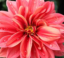Water Droplet Dahlia by AngelaBishop