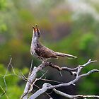little wattle bird - singing  by GrowingWild