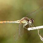 Dragonfly Close Up & Personal  by RickLionheart