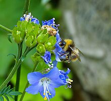 Bumble Bee hard at work by Simon Sweetman
