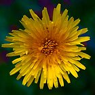 Dandelion in Spring by Daniel Carroll