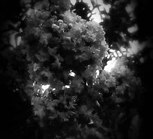 Crape Myrtle Dark by Christopher Johnson