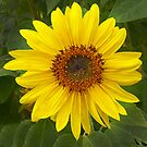 Sunflower by Jim Cumming