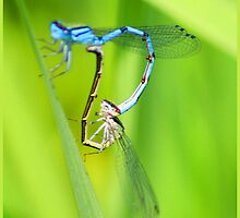 SEXTING DRAGON FLIES by Sue Baumgardner