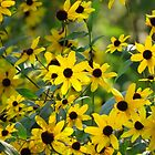 Happy Susans by lorilee