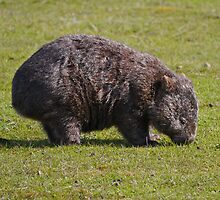 Wombat,  Mt William N.P., Tasmania by Margaret  Hyde