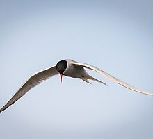Artic Tern in Flight by Wei Hao Ho