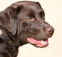 CHOCOLATE LABRADOR by MIKESCOTT