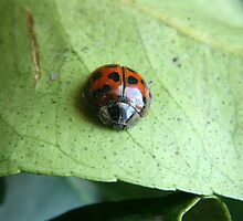 Ladybug on a Leaf by rhamm