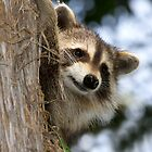 young raccoon 3 2012 by canonman7D