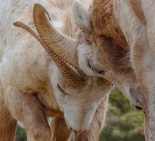 Butting Heads by JamesA1