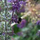 Bee in Lavender by Helen Barnett