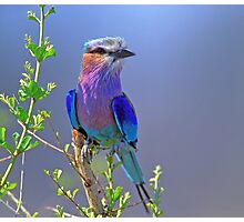 Lilac-breasted Roller Photographic Print