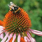 Coneflower & Bee by RedHillDigital