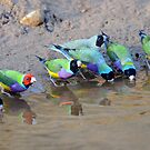 Gouldian Finches at the waterhole - Northern Territory by Alwyn Simple