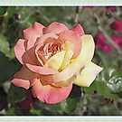 Pink and yellow rose flower photo art. Floral garden plants photography. by naturematters