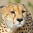 Female cheetah up close by jozi1