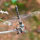 The Little Dragonfly by RickDavis