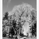 B&W winter old willow tree in Toronto Botanical Garden. Nature photography. by naturematters