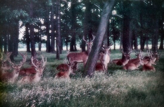 Red Deer Herd by missmoneypenny