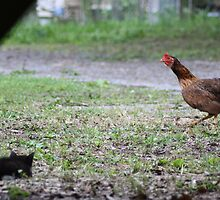 Kitten vs. Rooster by Michael Coots