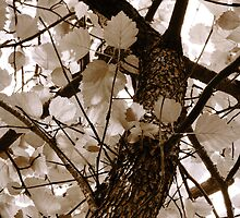 Autumn Glory Hawthorn - Silver White by SRowe Art