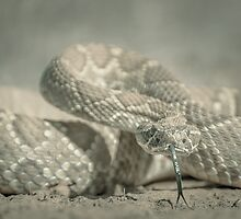 Mojave Green Rattlesnake by Jason  Fitzgibbon
