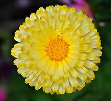 Calendula Perfection in Yellow and White by Orla Cahill Photography