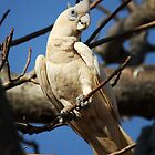 Little Corella by Mark Ingram Photography