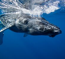 Humpback Near Ocean Surface by printscapes