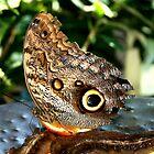 Owl Butterfly by Lynne Prestebak