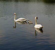 Swan family by DBigwood