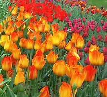 Tulips 2 by JD-Designs