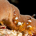Squat Anemone Shrimp by Jamie Kiddle