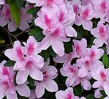 Pink Azalea by Sally Murray