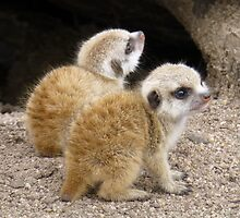 Four Week Old Meerkat Babies by Keith Richardson