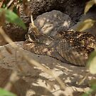 Western Diamond-backed Rattlesnake by Kimberly Chadwick
