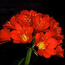 Flower Show -- Clivias #1 by johnrf