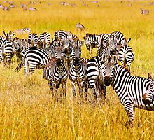 Many Zebras by Johan Skybäck