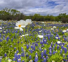 Texas Wildflowers - White Poppies in a Field of Bluebonnets 1 by RobGreebonPhoto
