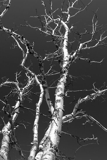 Dead Birch 3 Black and White by marybedy