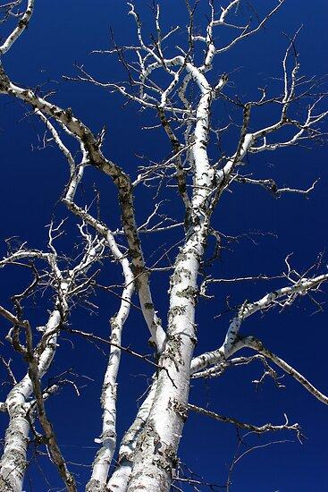 Dead Birch 3 by marybedy