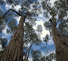 Stringybarks in Englebrook Reserve by Ben Loveday
