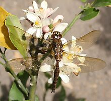 Dragonfly on Fruit Tree by rhamm