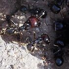 Busy Large Black Ants  by biglnet