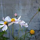 White Cosmos, Pink Edges by Barbara Wyeth