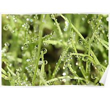 Dew on New Grass Poster